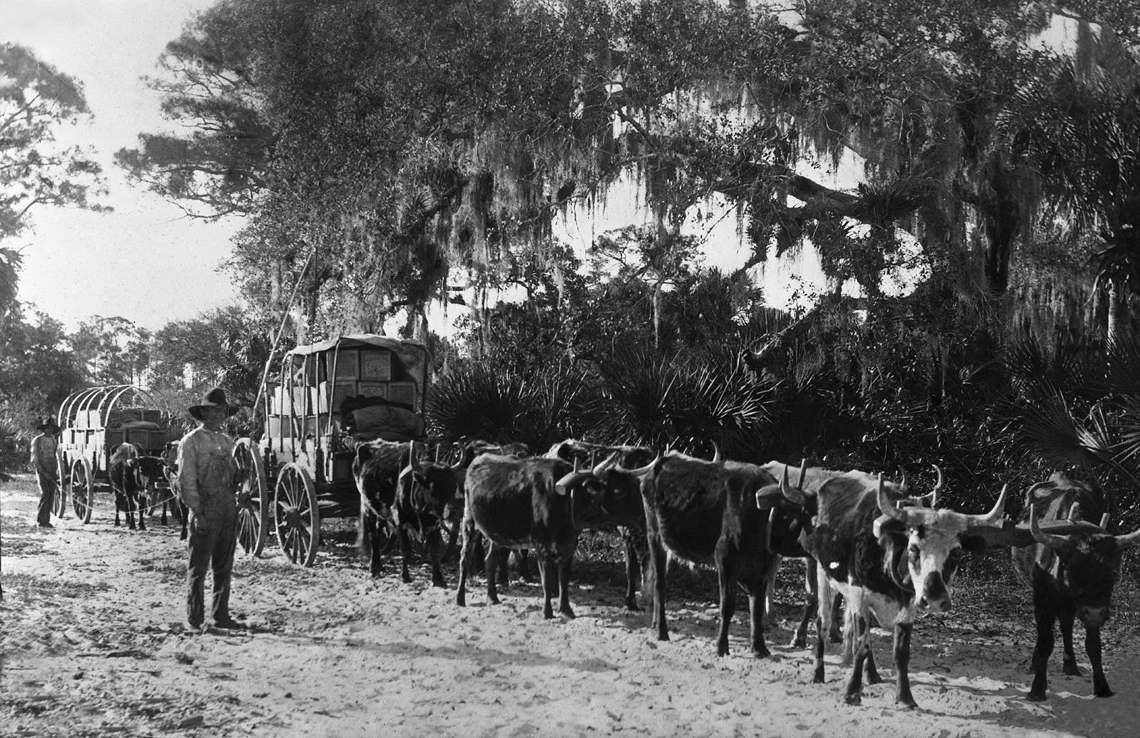 historic photo of oranges being hauled in wagons