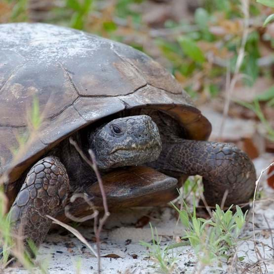 close up of gopher tortoise