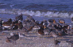Shorebirds on the beach