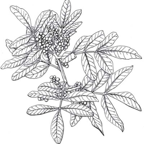 Drawing of Brazilian Pepper leaves