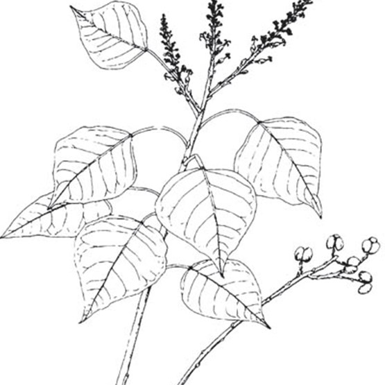 Chinese Tallow Drawing Illustration