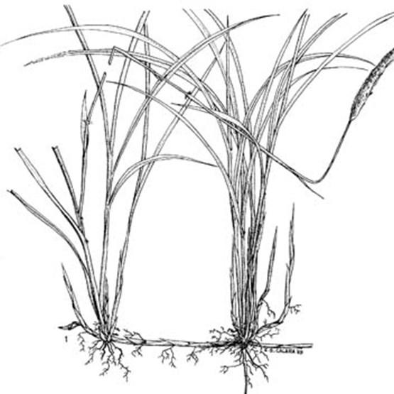 Cogon Grass Illustration Drawing