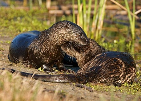 pair of otters