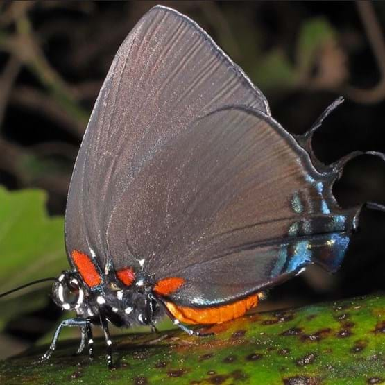 close up of gossamer winged butterfly