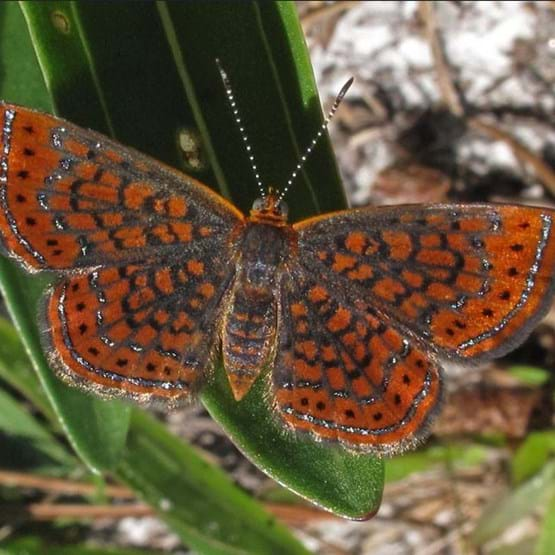 closeup of metalmark butterfly