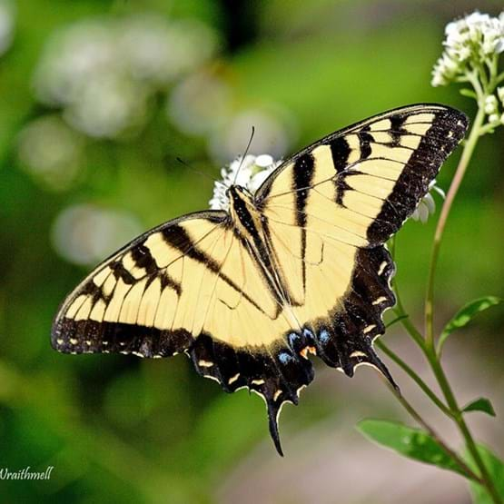 closeup of swallowtail butterfly