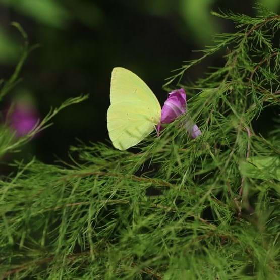 sulphur butterfly on foliage