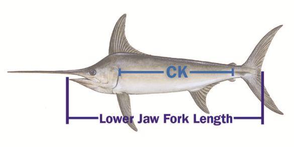 Swordfish measurements