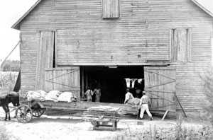 old photo of Gadsden County tobacco barn 1939