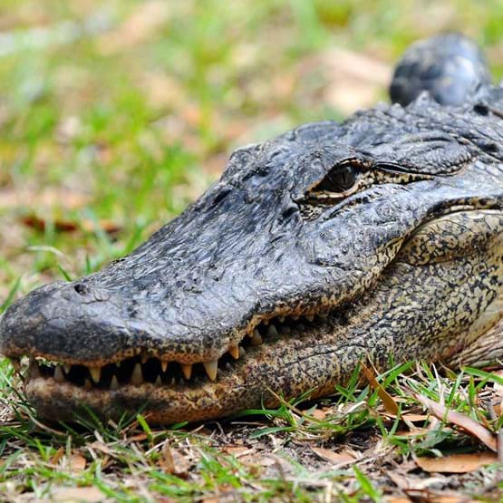 Alligator on the grass and dried leaves