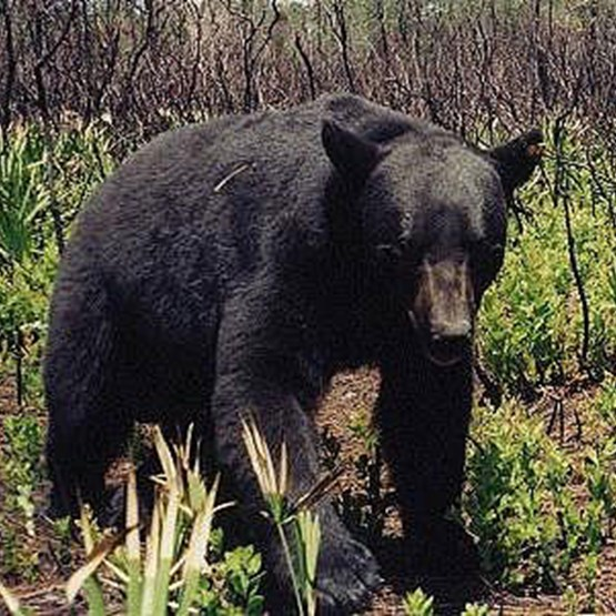 Adult black bear standing in natural setting