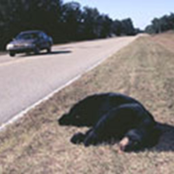 Roadkill bear on shoulder of road