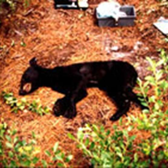 Emaciated yearling black bear