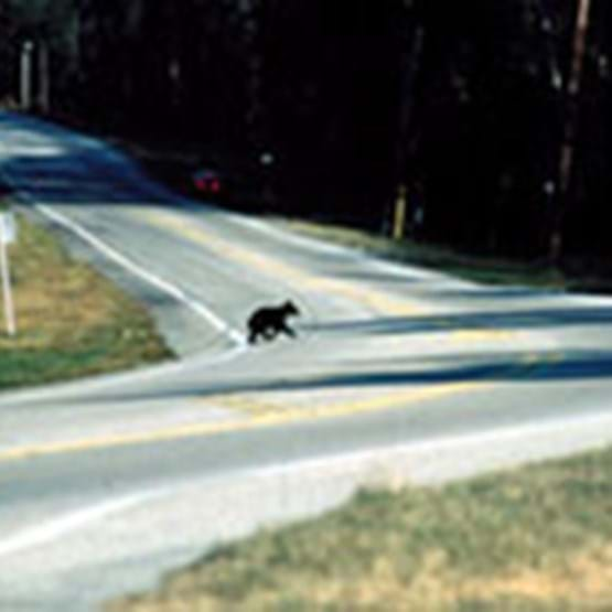 Bear running across the road