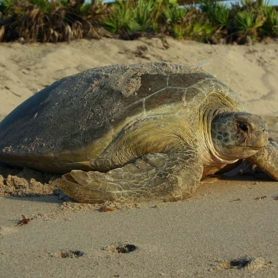 Green sea turtle nesting on the beach
