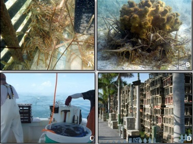 examples of impacts on juvenile lobsters