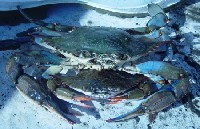 mating blue crabs