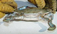 Molting blue crab