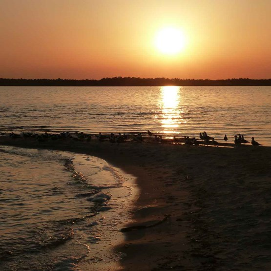 Shorebirds on the beach with sunset