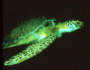 Sea turtle swimming in the dark