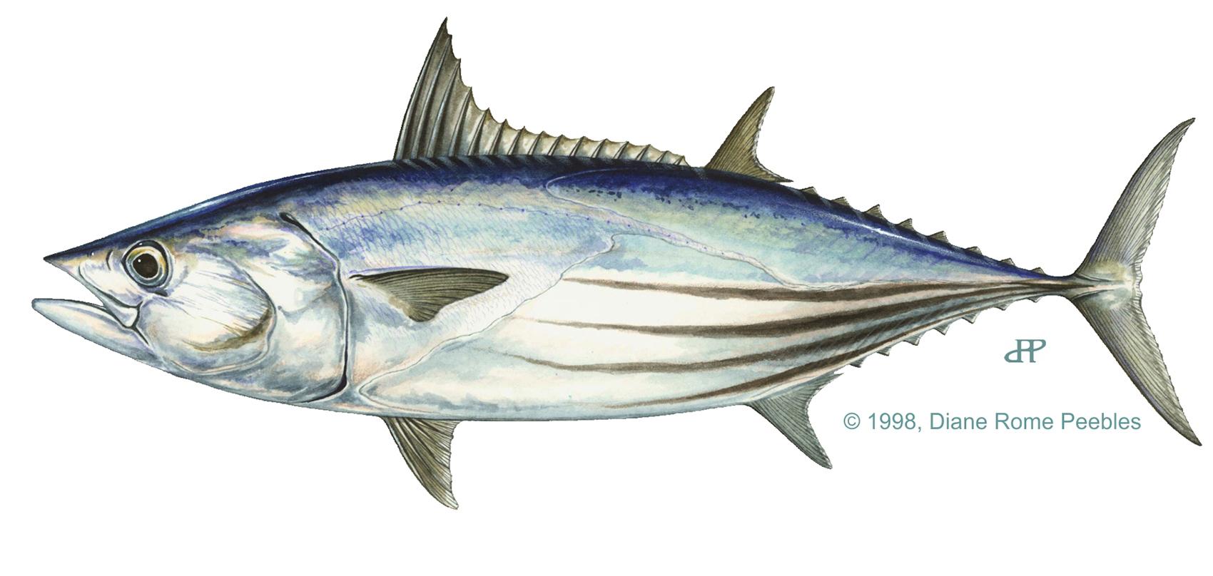 skip jack tuna