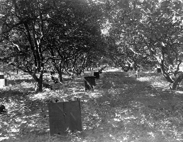Historic photo showing heaters in citrus groves