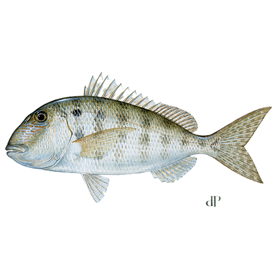 grass porgy diagram