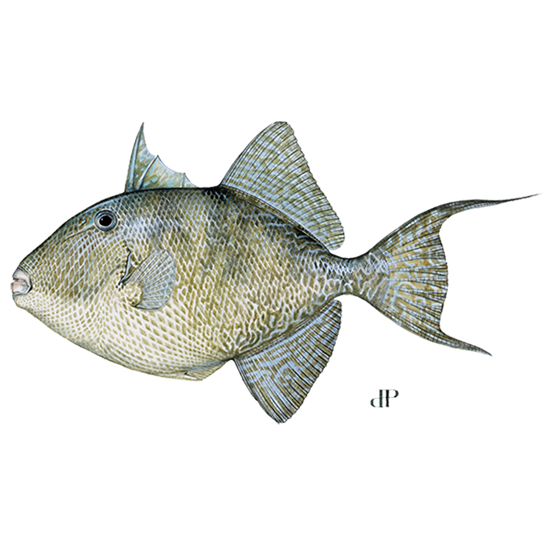 gray triggerfish diagram