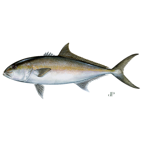 greater amberjack diagram