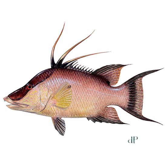 hogfish diagram