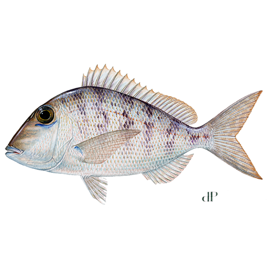 Jolthead porgy diagram