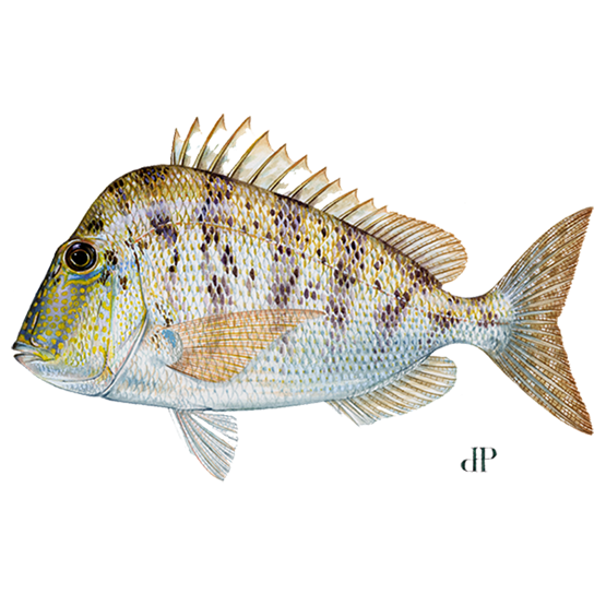 knobbed porgy diagram