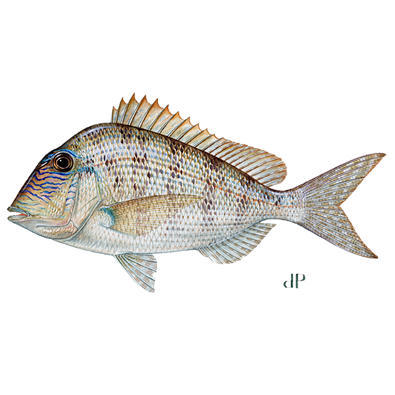 little head porgy diagram