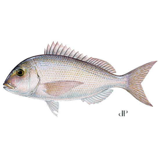 red porgy diagram