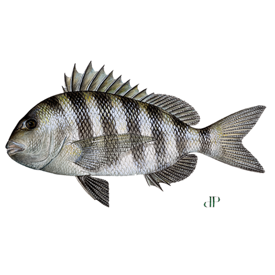 sheepshead diagram