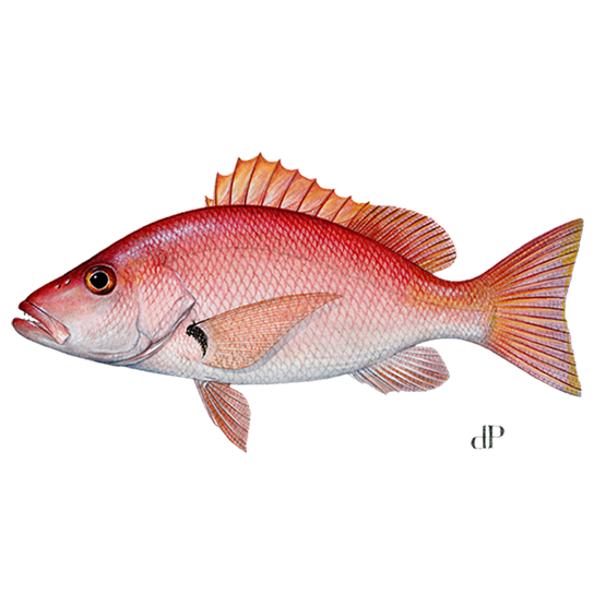 blackfin snapper diagram