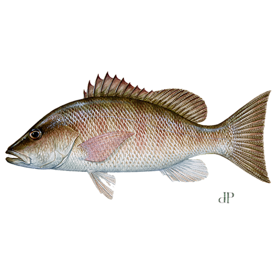 gray mangrove snapper