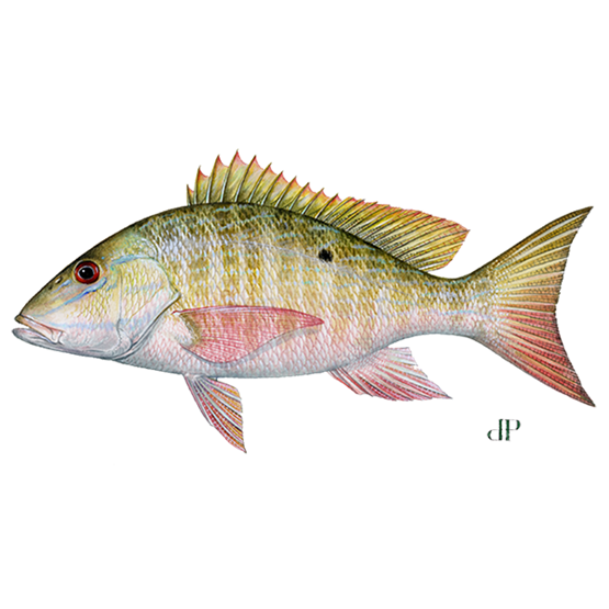 mutton snapper diagram