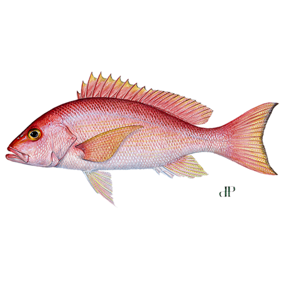 silk snapper diagram