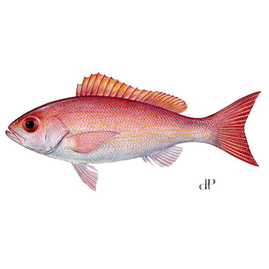 vermillion snapper diagram