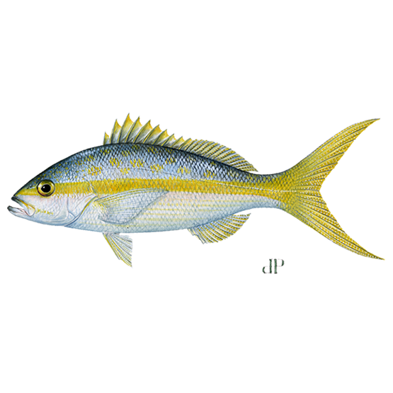 yellowtail snapper diagram