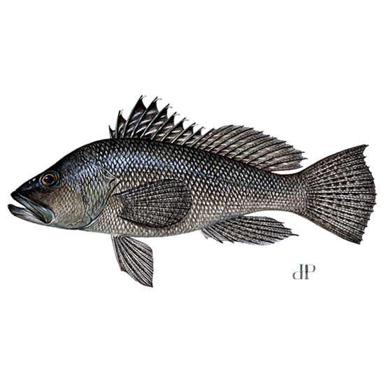 black female sea bass