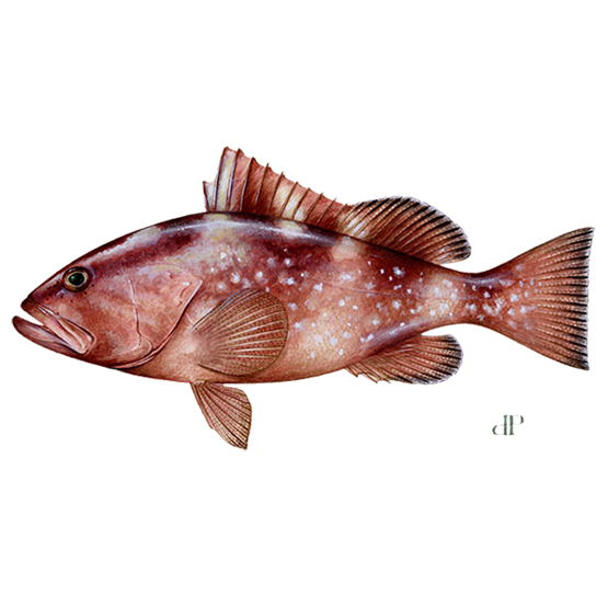 red grouper diagram