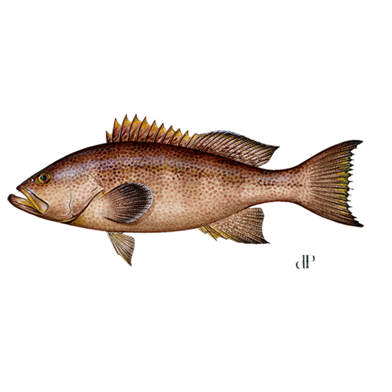 yellowmouth grouper diagram