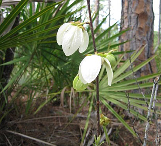 Two white paw-paw flowers with palmetto fronds in background. Photo credit: Annisa Karim/Lee County Parks and Recreation