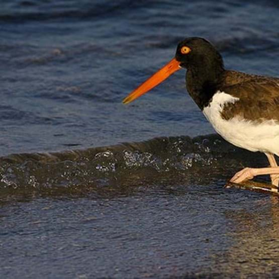 Close up of an American oystercatcher, a marine ecosystem dependent species