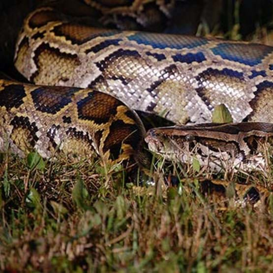 Close up of an invasive species, the Burmese python