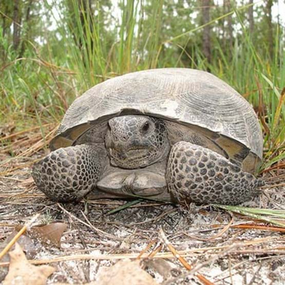 Close up of a terrestrial ecosystem-dependent species, the gopher tortoise