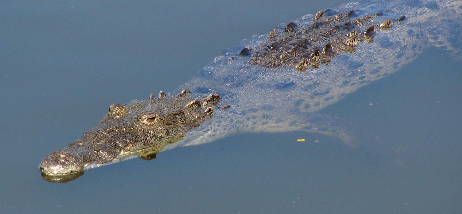 american crocodile floating in water