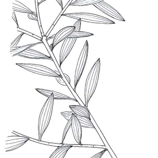 Melaleuca Drawing